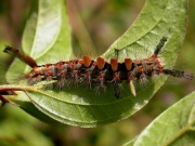 2026 The Vapourer Moth (Orgyia antiqua) caterpillar - brown tufted form