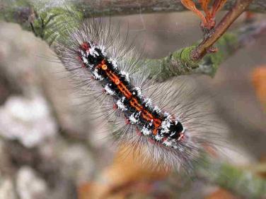 2030 Yellow-tail (Euproctis similis) - larva