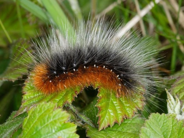 2057 Garden Tiger (Arctia caja) caterpillar - fully grown
