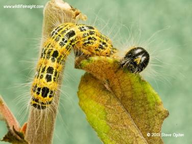 1994 Buff-tip (Phalera bucephala) caterpillar