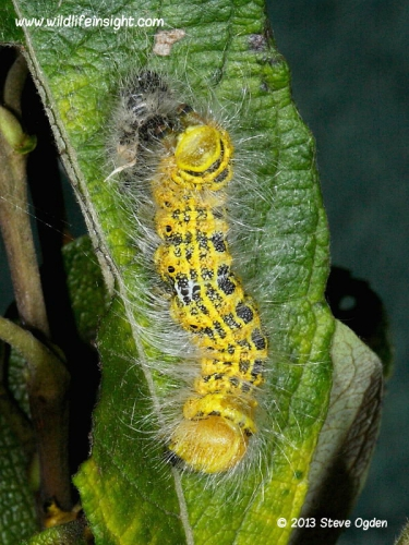 1994 Buff-tip (Phalera bucephala) caterpillar - freshly molted