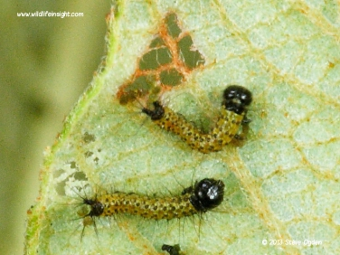 1994 Buff-tip (Phalera bucephala) caterpillars 1 day old