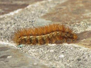 2061 Buff Ermine (Spilosoma luteum) - larva