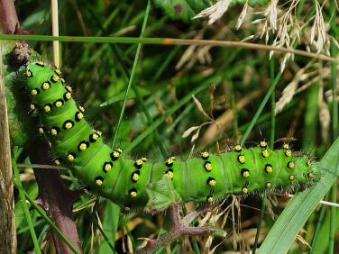 1643 Emperor Moth (Saturnia pavonia) - late instar caterpillar