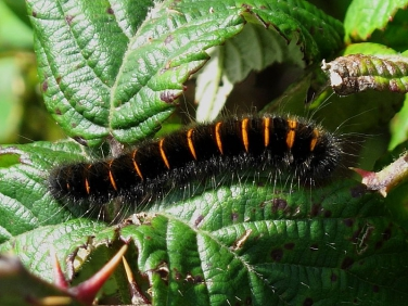 1638 Fox Moth (Macrothylacia rubi) - caterpillar - mid instar