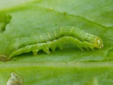 2154 Cabbage Moth (Mamestra brassicae) 12mm green form of caterpillar