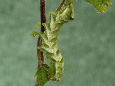 2155 Dot Moth (Melanchra persicariae) green form of caterpillar on nettle