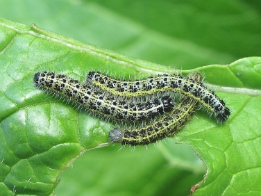 1549 Large White or Cabbage White Butterfly (Pieris brassicae) - caterpillars feeding on cabbage