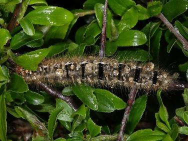 1637 Oak Eggar (Lasiocampa quercus) - caterpillar