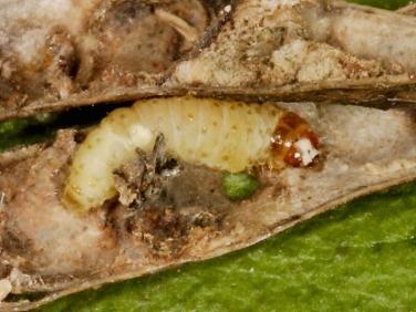 1257 Pea moth (Cydia nigricana) caterpillar in pea pod