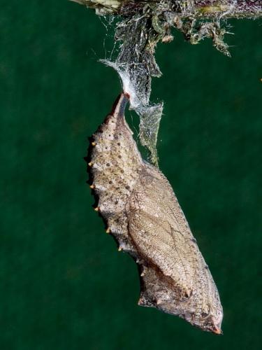 1593 Small Tortoiseshell (Aglais urticae) - chrysalis
