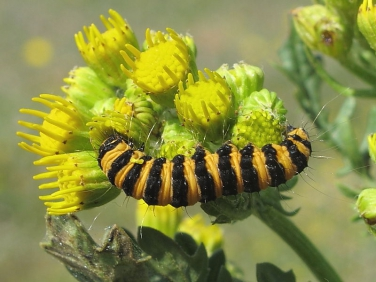 2069 The Cinnabar (Tyria jacobaeae) - caterpillar