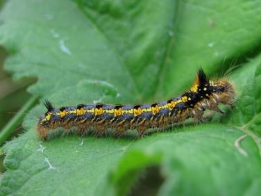 1640 Prehibernating  Drinker Moth caterpillar (Euthrix potatoria)