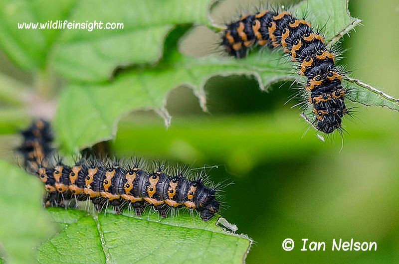 Half grown emperor-moth-caterpillars- photo-Ian Nelson
