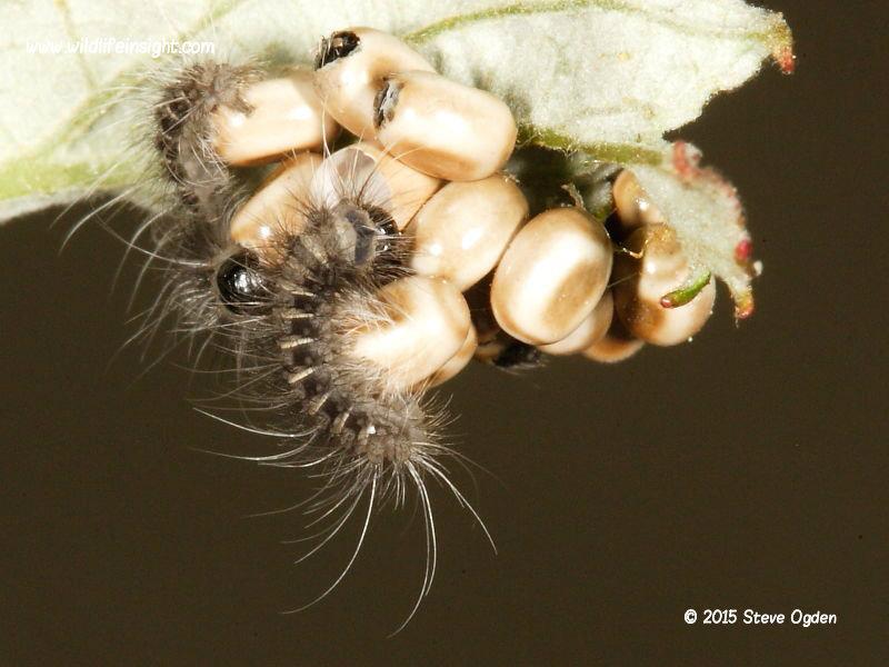 Fox Moth caterpillars hatching from eggs laid on bramble © 2015 Steve Ogden