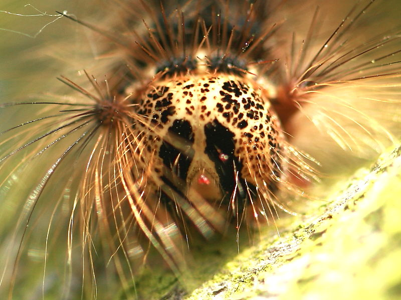 Gypsy moth (Lymantria dispar) caterpillar head London UK© K.Wang