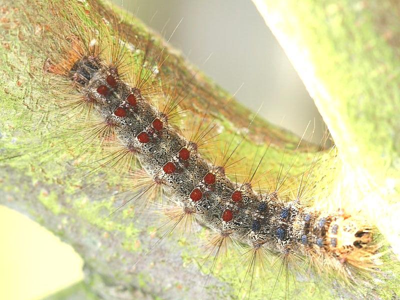 Gypsy moth (Lymantria dispar) caterpillar London UK © K. Wang