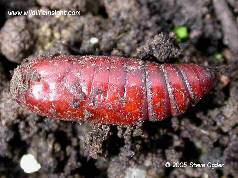 Large Yellow Underwing pupa © 2005 Steve Ogden