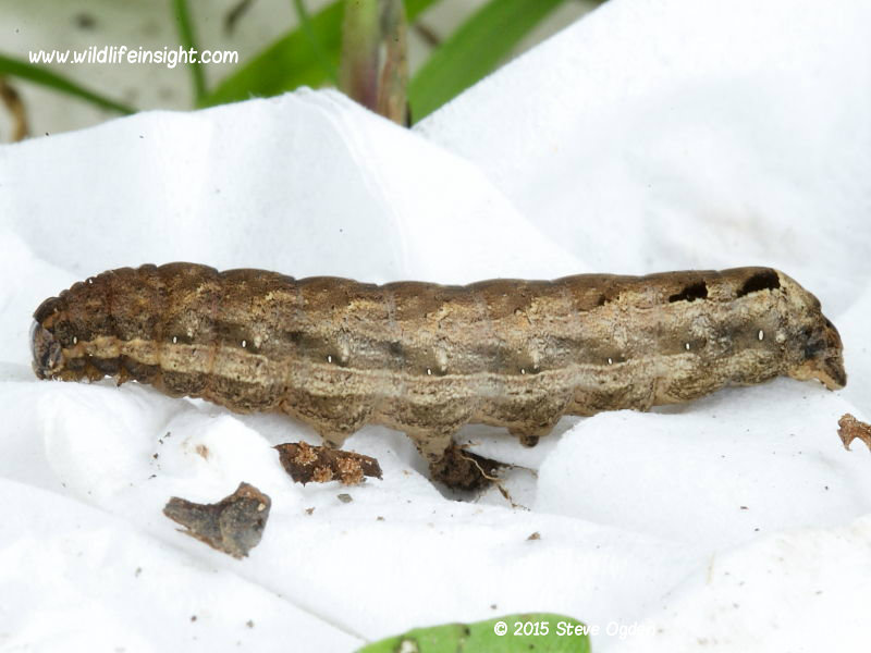Lesser Yellow Underwing caterpillar (Noctua comes) © 2015 Steve Ogden