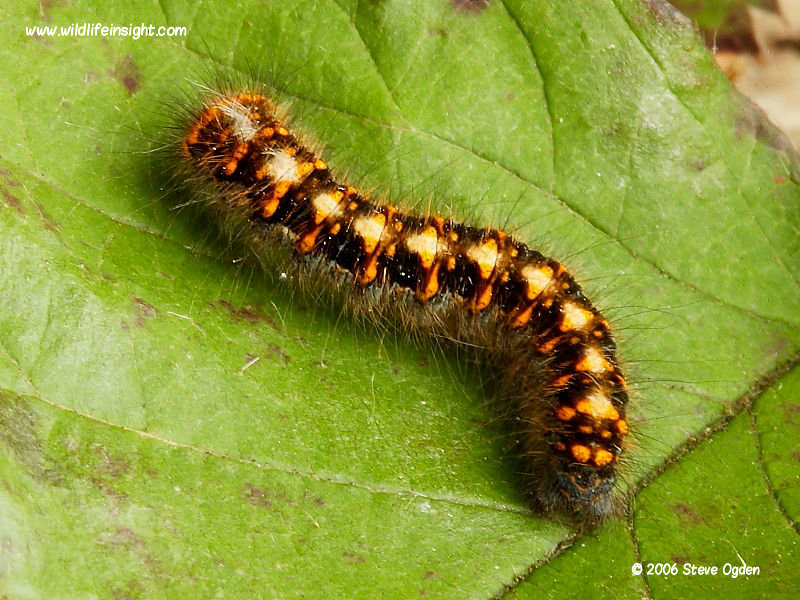 Oak eggar overwintered caterpillar in February © 2006 Steve Ogden