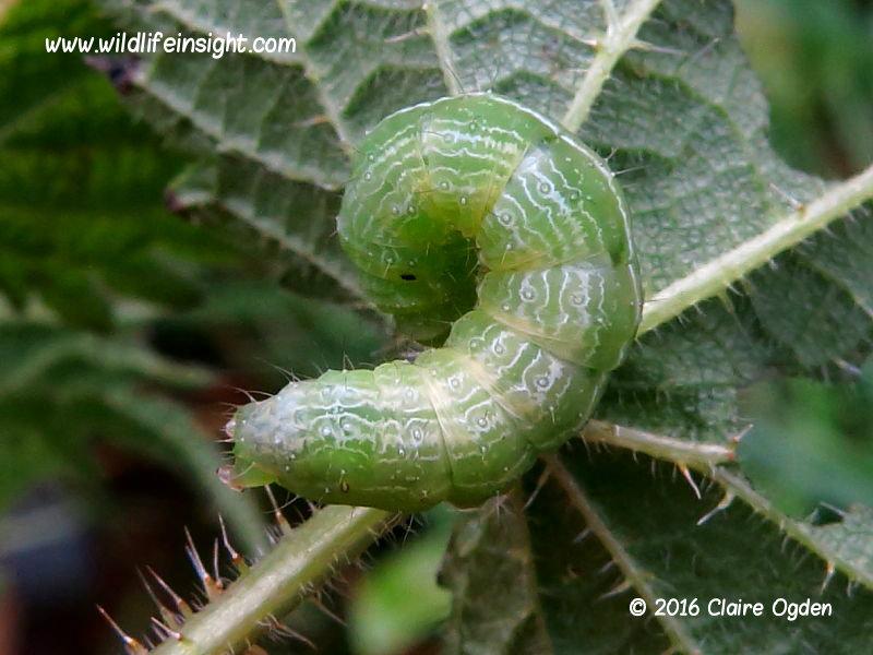 overwintering Silver Y moth larva Helford Estuary Cornwall Uk © 2016 Claire Ogden