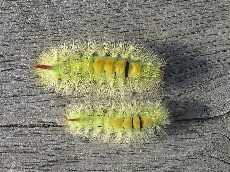 Pale Tussock (Calliteara pudibunda) - larva