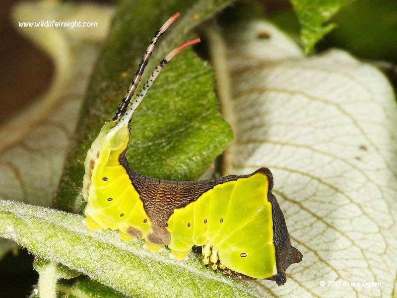 Puss Moth caterpillar (Cerura vinula) penultimate instar © 2015 Steve Ogden