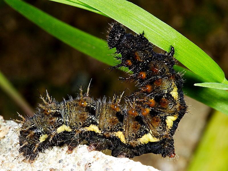 vanessa butterfly larvae - 800×600