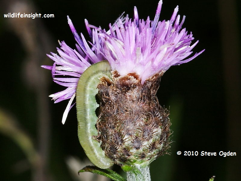 Sawfly larva feeding on knapweed flower head © 2010 Steve Ogden