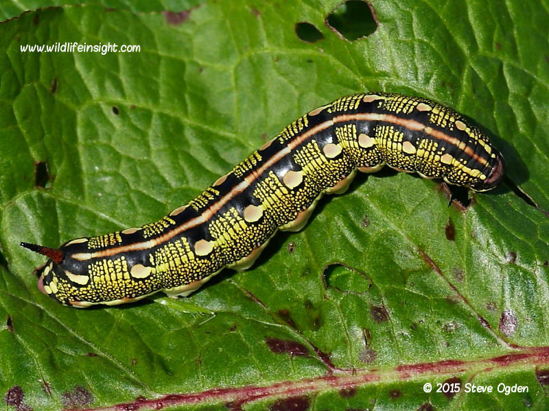 Striped Hawk-moth caterpillar (Hyles livornica)