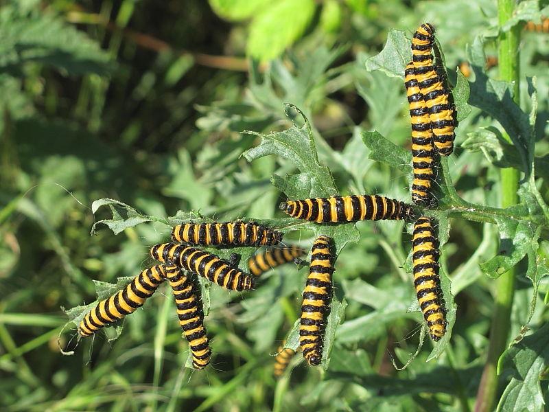 British Caterpillars The Cinnabar Wildlife Insight
