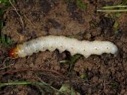 0014 Ghost Moth (Hepialus humuli) - larva