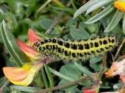 0170 Five-spot Burnet (Zygaena trifolii) caterpillar