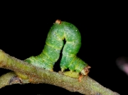 1906 Brimstone Moth caterpillar (Opisthograptis luteolata)