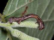 1947 The Engrailed (Ectropis bistortata) - larva