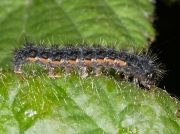 2050 Common Footman (Eilema lurideola) - caterpillar
