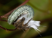 2164 Broad-barred White (Hecatera bicolorata) - larva