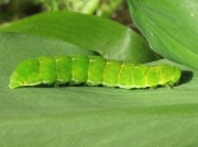 2306 Angle Shades (Phlogophora meticulosa) fully grown green form of caterpillar