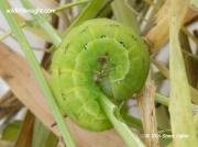 2232 Black Rustic caterpillar Aporophyla nigra © 2014 Steve Ogden