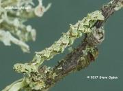 1945-Brussels Lace (Cleorodes lichenaria) final instar caterpillar © 2017 Steve Ogden
