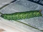 1972Convolvulus Hawkmoth (Agrius convolvuli) caterpillar Perranporth © 2002 Rose Williams