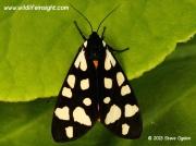 Freshly emerged Cream-spot Tiger Moth (Arctia villica)