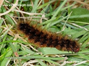 2058 Cream-spot Tiger caterpillar (Arctia villica) © 2009 Steve Ogden