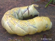1973 Deaths-head Hawkmoth caterpillar, (Acherontia atropos) Durban South Africa © 2014 Andre Isaacs