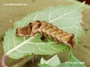 2155 Dot Moth brown larval form Melanchra persicariae © 2014 Steve Ogden