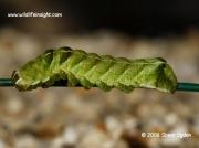 2155 Green larval form of Dot Moth Melanchra persicariae © 2006 Steve Ogden