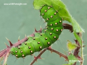 Emperor moth caterpillar Saturnia pavonia feeding on bramble © 2014 Steve Ogden