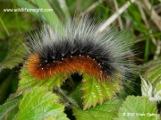 2057 Garden Tiger caterpillar (Arctia caja) © 2010 Steve Ogden