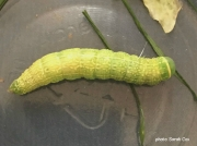 2422 Green Silver-lines caterpillar (Pseudoips prasinana) photo Sarah Cox