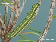 2135 Heath Rustic caterpillar (Xestia agathina) moorland heather Lizard, Cornwall © 2018 Steve Ogden
